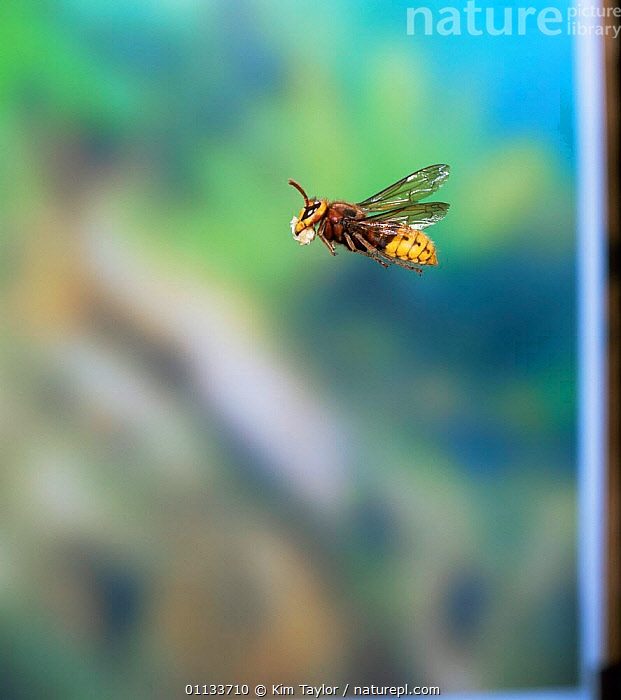 Hornet worker flying with wood pulp for nest building {Vespa crabro}  ,  BEHAVIOUR,EUROPE,INSECTS,HORNETS,HYMENOPTERA,Invertebrates  ,  Kim Taylor