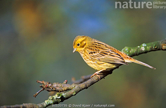 Yellowhammer {Emberiza citrinella} female perching on branch, UK.  ,  BIRDS,BUNTINGS,PASSERINES,UK,EUROPE,United Kingdom,British  ,  David Kjaer