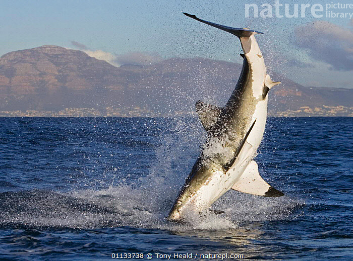 Great white shark {Carcharodon carcharias} breaching.,South Africa.  ,  TEMPERATE,SOUTHERN AFRICA,PREDATION,MARINE,SOUTH,SHARKS,CHONDRICHTHYES,BREACHING,ATLANTIC OCEAN,BEHAVIOUR,AFRICA,Fish, Fish,Catalogue1  ,  Tony Heald