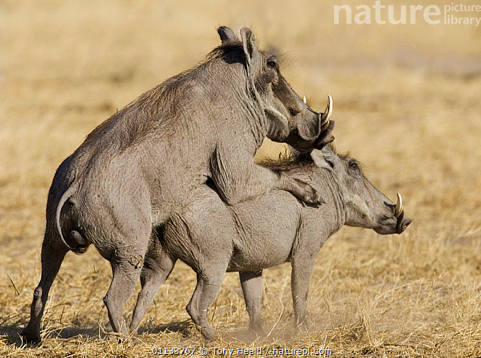 Warthogs {Phacochoerus aethiopicus} mating, Namibia.  ,  PIGS,COPULATION,ARTIODACTYLA,MAMMALS,MALE FEMALE PAIR,SOUTHERN AFRICA,NAMIBIA,MATING BEHAVIOUR,Reproduction  ,  Tony Heald