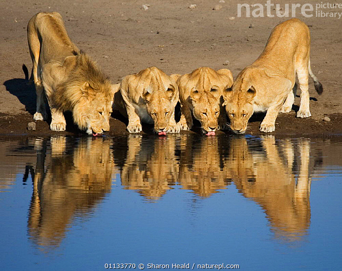 Pride of African lions {Panthera leo} drinking. Namibia  ,  MALES,REFLECTIONS,CARNIVORES,DRINKING,FEMALES,SOUTHERN AFRICA,LIONESS,FAMILIES,MAMMALS,FRIENDSHIP,WATERHOLE,WATER,GROUPS,Concepts,Lions,Big Cats  ,  Sharon Heald
