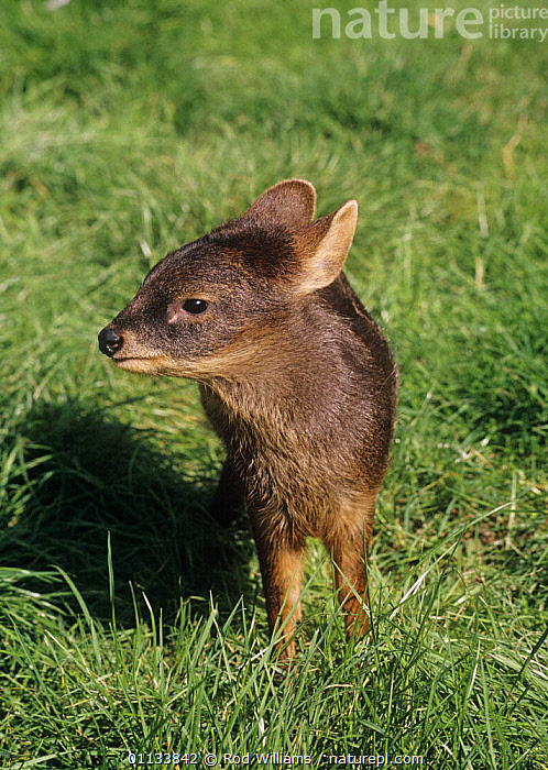 Young Southern pudu deer (Pudu puda) female, captive, from Chile, Endangered species  ,  ARTIODACTYLA,CERVIDS,CUTE,DEER,ENDANGERED,FEMALES,JUVENILE,MAMMALS,PORTRAITS,SIZE,SOUTH AMERICA,VERTEBRATES,VERTICAL  ,  Rod Williams