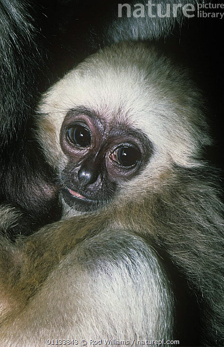 Pileated gibbon {Hylobates pileatus} young male suckling, Captive, from Thailand  ,  BABIES,FACES,FEEDING,GIBBONS,GREAT APES,MAMMALS,PORTRAITS,PRIMATES,SOUTH EAST ASIA,SUCKLING,VERTEBRATES,Asia  ,  Rod Williams