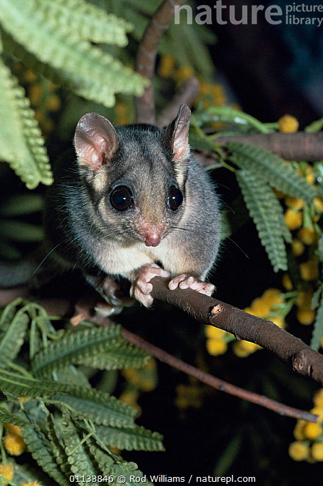 Leadbeaters possum {Gymnobelideus leadbeateri} portrait, Australia. Captive  ,  AUSTRALIA,ENDANGERED,MAMMALS,MARSUPIALS,NOCTURNAL,PORTRAITS,POSSUMS,VERTEBRATES  ,  Rod Williams