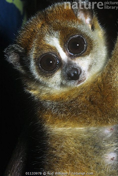 Pygmy slow loris {Nycticebus pygmaeus} Captive, from Laos, China and Vietnam, vulnerable species, CHINA,ENDANGERED,EYES,FACES,LORISES,MAMMALS,PORTRAITS,PRIMATES,SOUTH EAST ASIA,VERTEBRATES,VERTICAL,Asia, Rod Williams