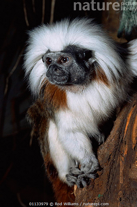 Cotton-top tamarin {Saguinus oedipus} portrait. Captive, from Colombia.  ,  ENDANGERED,MAMMALS,PORTRAITS,PRIMATES,SOUTH AMERICA,TAMARINS,VERTEBRATES,VERTICAL,Marmosets ,Cottontop tamarin,  ,  Rod Williams