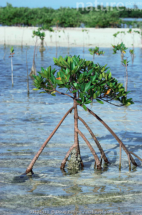 Red mangrove plant with exposed roots {Rhizophora mangle} Bahamas, CARIBBEAN,COASTS,DICOTYLEDONS,MANGROVE,MANGROVES,PLANTS,RED,RHIZOPHORACEAE,ROOTS,VERTICAL,West Indies, Doug Perrine