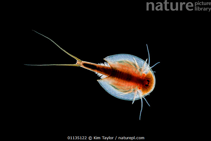 Desert shrimp {Triops longicaudatus} swimming. Captive.  ,  SWIMMING,SHRIMPS,EUROPE,CRUSTACEANS,PHOTOMICROGRAPHY,MICRO PHOTOGRAPHY,CUT OUTS,DESERT,ARTHROPODS,Invertebrates  ,  Kim Taylor