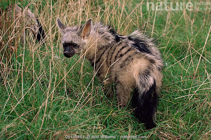 Young male Aardwolf {Proteles cristatus} in long grass. Captive.  ,  AFRICA,CARNIVORES,MAMMALS,VERTEBRATES  ,  Rod Williams