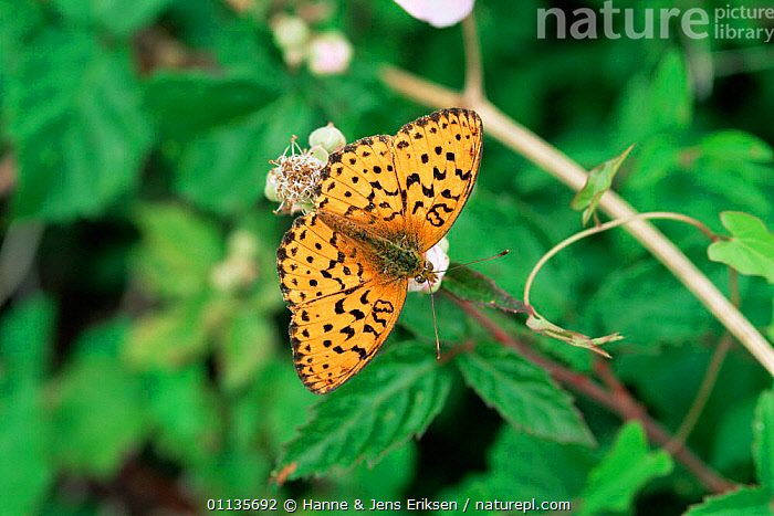 Lesser marbled fritillary butterfly {Brenthis ino} resting.,France., ARTHROPODS,BUTTERFLIES,EUROPE,FRANCE,INSECTS,INVERTEBRATES,LEPIDOPTERA, Hanne & Jens Eriksen