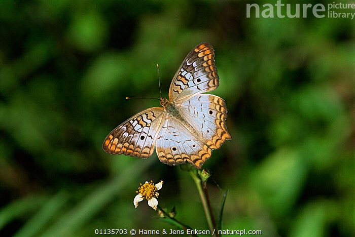 White peacock butterfly {Anartia jatrophae} resting on flower. USA., ARTHROPODS,BUTTERFLIES,INSECTS,INVERTEBRATES,LEPIDOPTERA,NORTH AMERICA,USA,North America, Hanne & Jens Eriksen