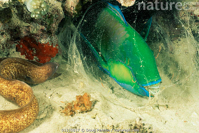 Nature Picture Library - Grey faced / White eyed moray eel