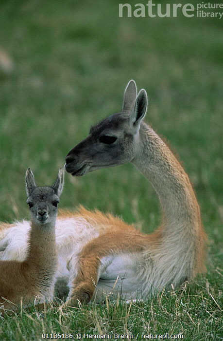 Guanaco resting with baby {Lama guanicoe} Torres del Paine NP, Chile, ARTIODACTYLA,BABIES,BABY,CAMELIDS,CUTE,FAMILIES,LLAMAS,MAMMALS,MOTHER,NP,RESERVE,SOUTH AMERICA,VERTEBRATES,VERTICAL,National Park, Hermann Brehm