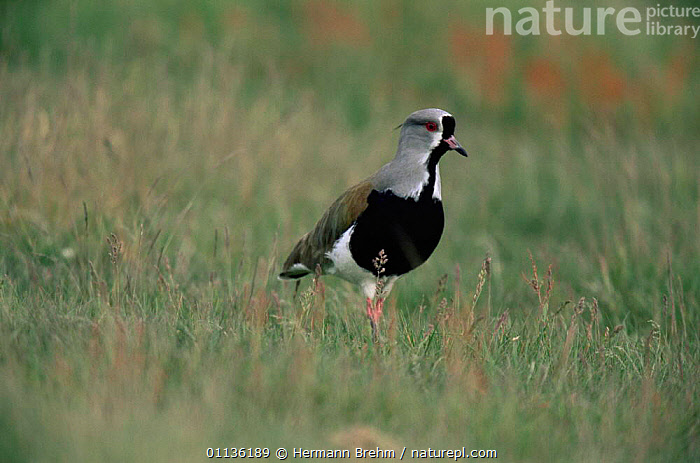 Southern lapwing {Vanellus chilensis} Torres del Paine NP, Chile, BIRDS,NP,RESERVE,SOUTH AMERICA,VERTEBRATES,WADERS,National Park,Plovers, Waders, Hermann Brehm