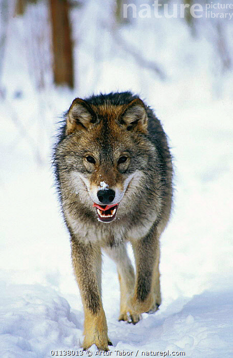 European Grey Wolf in snow {Canis lupus} Bialowieza NP, Poland  ,  WOLVES,WINTER,MAMMALS,VERTICAL,EUROPE,RESERVE,CARNIVORES,Dogs,Canids  ,  Artur Tabor