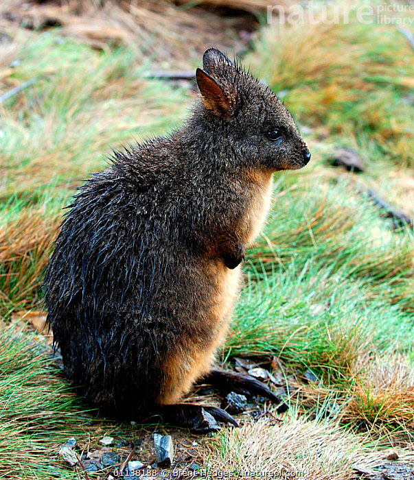Rufous bellied pademelon {Thylogale billardierii}, Tasmania, Australia.  ,  BILLARDIERII,AUSTRALIA,WALLABIES,MARSUPIALS,SITTING,TASMANIAN,PORTRAITS,NATIONAL,RESTING,MOUNTAIN,VERTICAL,PARK  ,  Brent Hedges