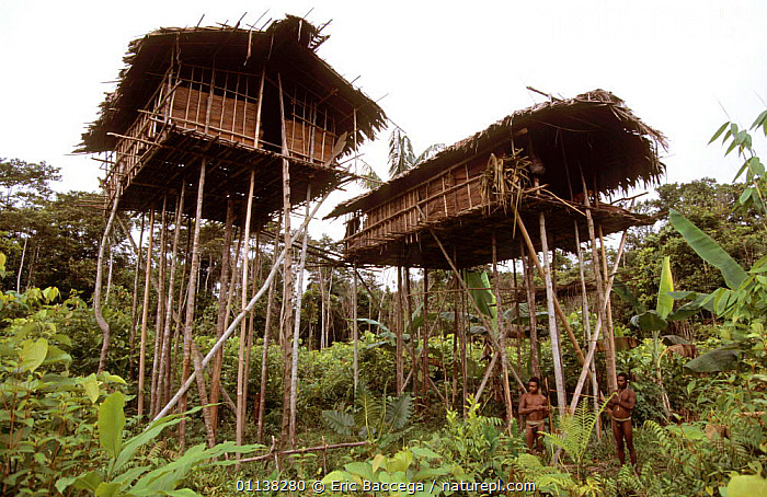 Traditional Korowai house perched in a tree 20 meters above the ground, Western Papuasia, Indonesia. 1999 / 2000. (West Papua).  ,  PAPUASIA,PEOPLE,TROPICAL RAINFOREST,TRIBES,TREES,LANDSCAPES,INDONESIA,BUILDINGS,CULTURES,Asia,Plants  ,  Eric Baccega