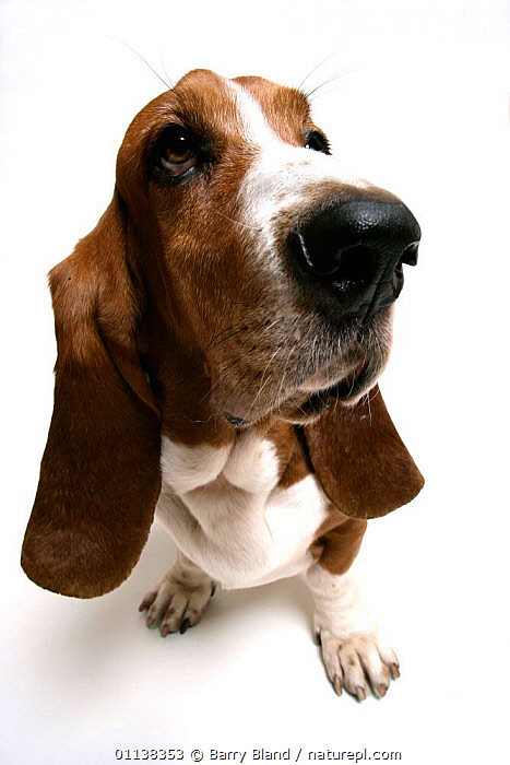 Basset Hound {Canis familiaris} sitting  ,  CANIDS,CARNIVORES,CUTOUT,DOGS,EUROPE,PETS,PORTRAITS,VERTEBRATES,VERTICAL  ,  Barry Bland