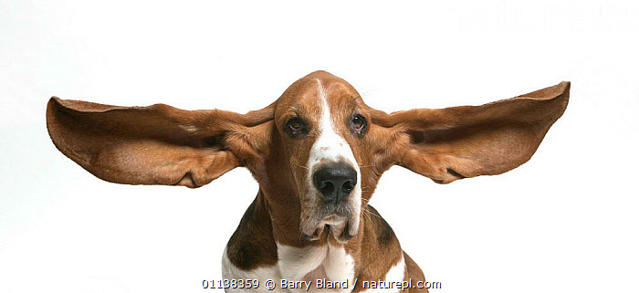 Basset Hound {Canis familiaris} ears flying  ,  CANIDS,CARNIVORES,CUTOUT,DOGS,EUROPE,HUMOROUS,PETS,PORTRAITS,VERTEBRATES,Concepts  ,  Barry Bland