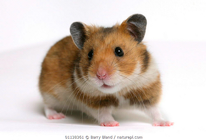 Golden / Syrian hamster {Mesocricetus auratus}, CUTOUT,EUROPE,HAMSTERS,MAMMALS,PETS,PORTRAITS,rodents,VERTEBRATES,Muridae, Barry Bland