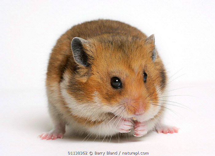 Golden / Syrian hamster {Mesocricetus auratus}  ,  CUTOUT,EUROPE,HAMSTERS,MAMMALS,PETS,PORTRAITS,rodents,VERTEBRATES,Muridae  ,  Barry Bland