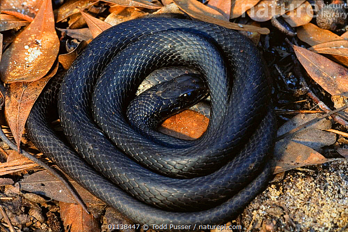 Southern black racer {Coluber constrictor priapus} coiled under log, North Carolina, USA  ,  COLUBRIDS,REPTILES,SNAKES,USA,VERTEBRATES,North America  ,  Todd Pusser