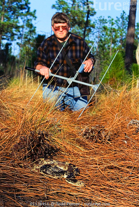 Biologist Jeff Beane radio tracking a Pine gopher snake {Pituophis melanoleucus} North Carolina, USA.  ,  COLUBRIDS,FIELDWORK,REPTILES,RESEARCH,SNAKES,USA,VERTEBRATES,VERTICAL,North America  ,  Todd Pusser