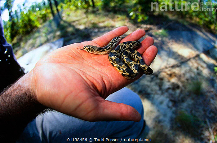 Pine gopher snake {Pituophis melanoleucus} hatchling held in hand, NOrth Carolina, USA.  ,  BABIES,COLUBRIDS,HANDS,PEOPLE,REPTILES,SNAKES,USA,VERTEBRATES,North America  ,  Todd Pusser
