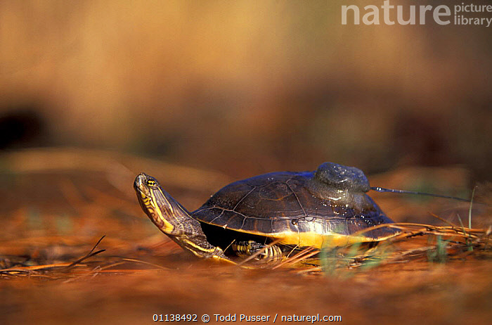 Chicken turtle {Deirochelys reticularia) with radio tag, N Carolina, USA  ,  CHELONIA,CONSERVATION,FRESHWATER,MONITORING,NORTH AMERICA,POND TURTLES,PROFILE,REPTILES,RESEARCH,TAGGED,TAGGING,USA,VERTEBRATES, Turtles  ,  Todd Pusser