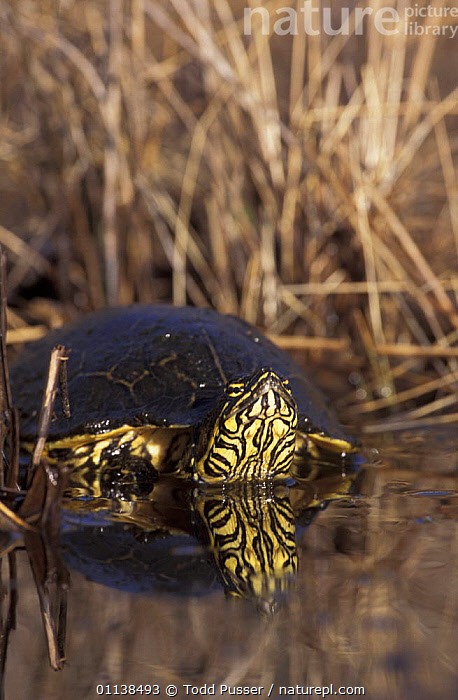 Chicken turtle {Deirochelys reticularia) in water, North Carolina, USA  ,  AQUATIC,CHELONIA,FRESHWATER,NORTH AMERICA,POND TURTLES,REPTILES,SWIMMING,USA,VERTEBRATES,VERTICAL,WATER, Turtles  ,  Todd Pusser
