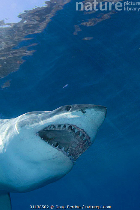 Great white shark with mouth open (Carcharodon carcharias)Guadalupe Is, Mexico - Pacific Ocean  ,  CENTRAL AMERICA,CHONDRICHTHYES,FISH,MARINE,MOUTHS,SHARKS,TEETH,TROPICAL,UNDERWATER,VERTEBRATES, Fish,Catalogue1  ,  Doug Perrine