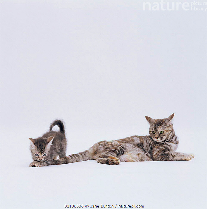 Domestic cat (Felis catus) 8-week-old kitten playing with mother's tail  ,  ANNOYING,BABIES,BABY,BEHAVIOUR,CARNIVORES,CATS,CUTE,CUTOUT,MAMMALS,MOTHER,PETS,VERTEBRATES  ,  Jane Burton