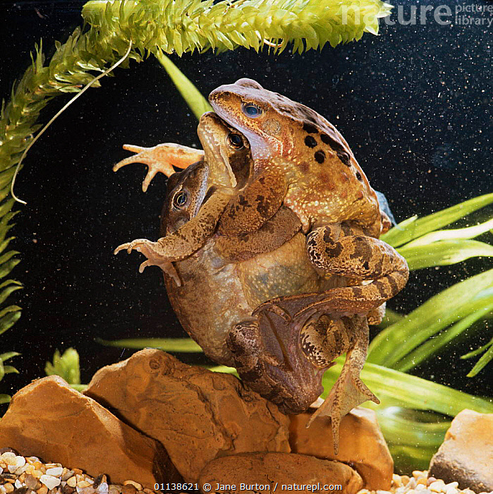 Common Frogs (Rana temporaria) in amplexus, two males clasping one female  ,  AMPHIBIANS,ANURA,CAPTIVE,COMPETITION,EUROPE,FROGS,MALE FEMALE PAIR,MATING BEHAVIOUR,PONDS,TEMPERATE,UK,UNDERWATER,VERTEBRATES,United Kingdom,British,Reproduction  ,  Jane Burton