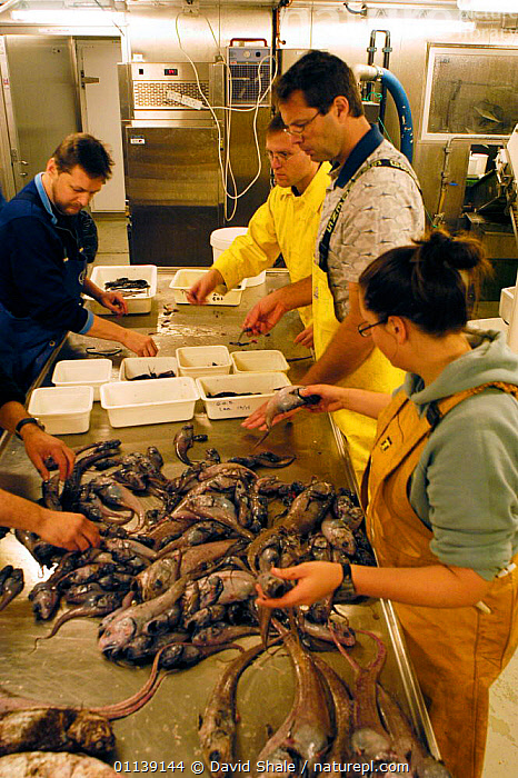 Researchers sorting a benthic deep sea trawl sample, rat tails etc, in laboratory  ,  DEEPSEA,FISH,MACROURIDS,MIXED SPECIES,PEOPLE,RESEARCH,SARS,VERTICAL  ,  David Shale