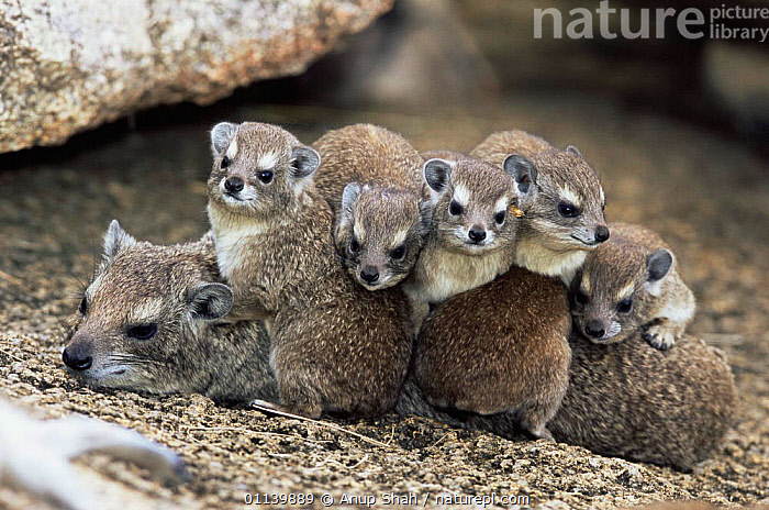 Rock hyrax family (Procavia capensis) Serengeti NP, Tanzania  ,  BABIES,CUTE,EAST AFRICA,FAMILIES,HYRAXES,MAMMALS,MATERNAL,MOTHER,VERTEBRATES,YOUNG,Africa,,Serengeti National Park, UNESCO World Heritage Site,  ,  Anup Shah
