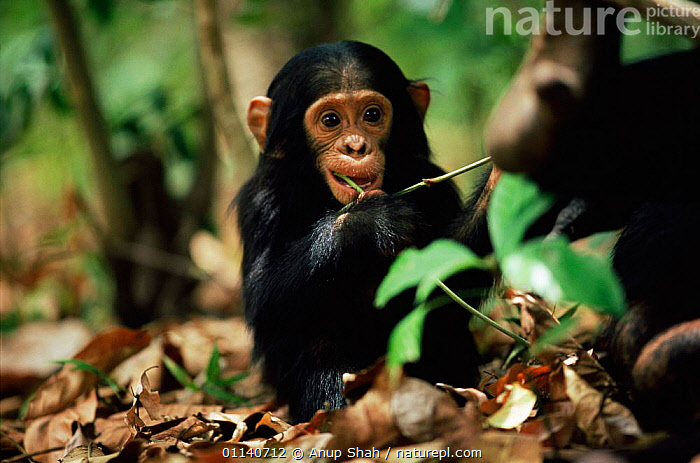 Young Eastern common chimpanzee {Pan troglodytes schweinfurtheii} Opal's baby, Mahale NP, Tanzania., BABIES,CUTE,EAST AFRICA,ENDANGERED,GREAT APES,MAMMALS,PRIMATES,VERTEBRATES,Great apes,Africa, Anup Shah