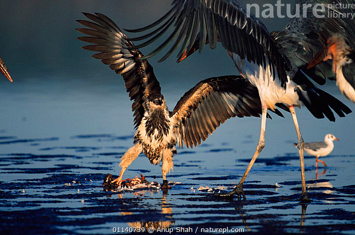 Juvenile Tawny or African Sea Eagle defending flamingo carcass from Marabou stork {Lepitoptilos crumeniferous}  ,  ACTION,AGGRESSION,BEHAVIOUR,BIRDS,COMPETITION,CONFLICT,EAGLES,EAST AFRICA,FEEDING,FIGHTING,MIXED SPECIES,STORKS,VERTEBRATES,Concepts,Africa  ,  Anup Shah