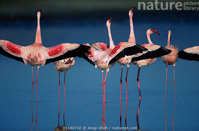 Lesser flamingos {Phoeniconaias minor} performing 'wing salute' as part of courtship display, the wings are spread out to the side of the body and held in this position for several seconds, making the contrasting black flight feathers highly visible, Lake Nakuru, Kenya.  ,  BEHAVIOUR,BIRDS,COURTSHIP,DISPLAY,EAST AFRICA,FLAMINGOS,REPRODUCTION,RITUAL,VERTEBRATES,Communication,Africa  ,  Anup Shah