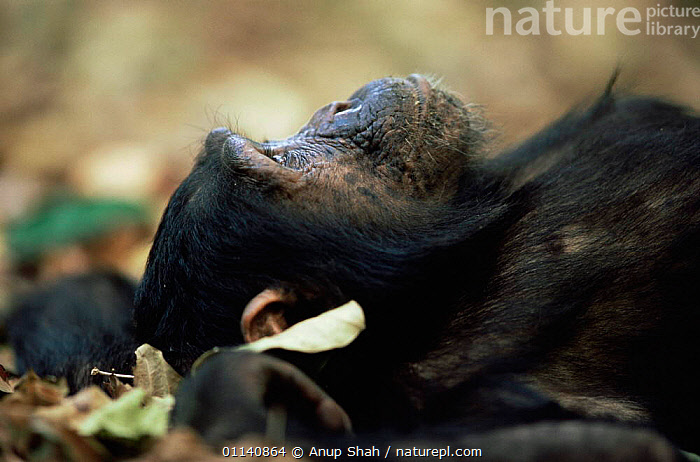 Eastern common chimpanzee {Pan troglodytes schweinfurtheii} lying on ground, Mahale NP, Tanzania, CHIMPANZEES,EAST AFRICA,ENDANGERED,GREAT APES,LOOKING UP,MAMMALS,PRIMATES,RELAXING,RESTING,VERTEBRATES,Great apes,Africa, Anup Shah