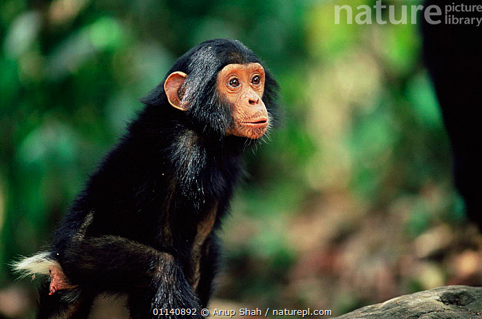 Eastern common chimpanzee baby {Pan troglodytes schweinfurtheii} Mahale NP, Tanzania., BABIES,CUTE,ENDANGERED,GREAT APES,MAMMALS,PRIMATES,VERTEBRATES,Great apes, Anup Shah