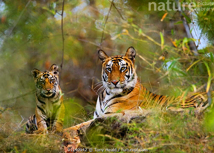 Female Tiger {Panthera tigris} with four-month-old cub, Bandhavgarh NP, India.  ,  ASIA,BABY,BIG CATS,CARNIVORES,ENDANGERED,india,INDIAN SUBCONTINENT,MAMMALS,MOTHER,NP,TIGERS,National Park,Big Cats  ,  Tony Heald