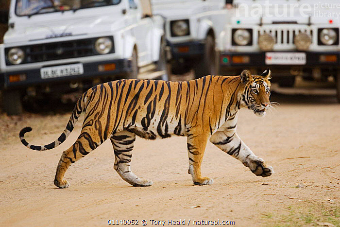 Tiger {Panthera tigris} crossing road in front of tourist vehicles, Bandhavgarh NP, India.  ,  ASIA,BIG CATS,CARNIVORES,ENDANGERED,INDIA,INDIAN SUBCONTINENT,MAMMALS,NP,PROFILE,TIGERS,TOURISM,TOURISTS,VEHICLES,WALKING,National Park,Big Cats  ,  Tony Heald