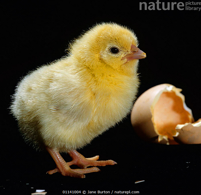 Light Sussex hen chick {Gallus gallus domesticus} birth sequence 5/8. The day-old-chick can stand upright, run about and feed itself., BABIES,BIRDS,CUTOUT,FOWL,HATCHING,POULTRY,SEQUENCE,VERTEBRATES, Jane Burton