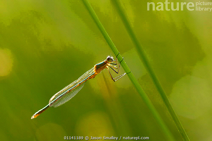 Damselfly {Sympecma fusca} resting on pondside vegetation, UK.  ,  ARTHROPODS,DAMSELFLIES,EUROPE,GREEN,INSECTS,INVERTEBRATES,ODONATA,UK,WILDLIFE,WINGS,United Kingdom,British  ,  Jason Smalley