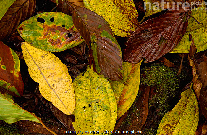 Imperial moth (Eacles sp) camouflaged in leaf litter,  Mindo Cloud forest. Ecuador  ,  CLOUD-FOREST, INSECTS, INVERTEBRATES, ARTHROPODS, CAMOUFLAGE, IMPERIAL-MOTHS, LEAVES, LEPIDOPTERA, MOTHS, rainforest, SOUTH-AMERICA  ,  Pete Oxford