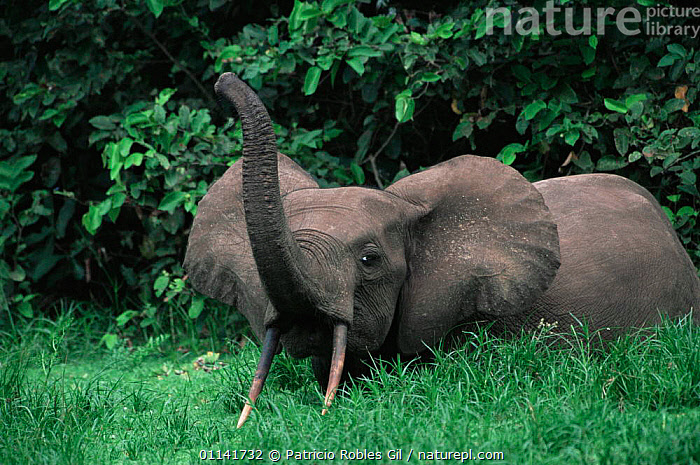 Nature Picture Library - African forest elephant {Loxodonta