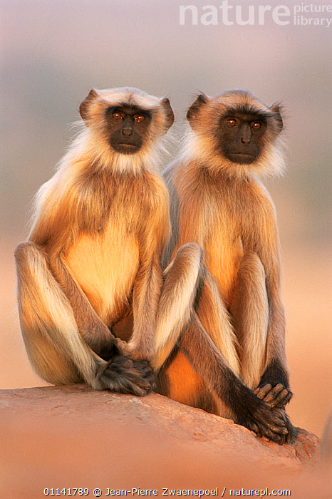 Southern plains grey / Hanuman langur {Semnopithecus dussumieri} two adolescents sitting, Thar desert, Rajasthan, India Not available for ringtone/wallpaper use.  ,  animal theme,ASIA,catalogue4,Cercopithecidae,close up,desert,DESERTS,DUSSUMIERS MALABAR LANGUR,DUSSUMIERS SACRED LANGUR,facial expression,front view,full length,HANUMAN LANGUR,identical,india,JUVENILE,LANGURS,looking at camera,MAMMALS,Nobody,PRIMATES,rajasthan,sadness,side by side,SITTING,sitting on ground,SOUTHERN PLAINS GREY LANGUR,two animals,VERTEBRATES,VERTICAL,WILDLIFE,young animal,RINGTONE  ,  Jean-Pierre Zwaenepoel