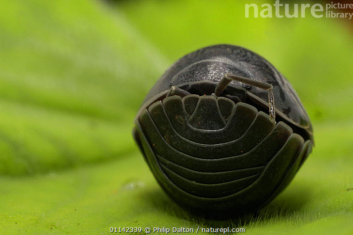 Pill Woodlouse (Armadillidium vulgare) Rolled up on dfensive ball, UK. Articulated skin plates - armour, ARTHROPODS, CRUSTACEANS, WOODLICE, defense, defensive-behaviour, EUROPE, INVERTEBRATES, Philip Dalton