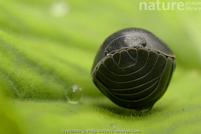 Pill Woodlouse (Armadillidium vulgare) Rolled up in defensive ball, UK.  ,  defense, defensive-behaviour, EUROPE, INVERTEBRATES, ARTHROPODS, CRUSTACEANS, WOODLICE  ,  Philip Dalton