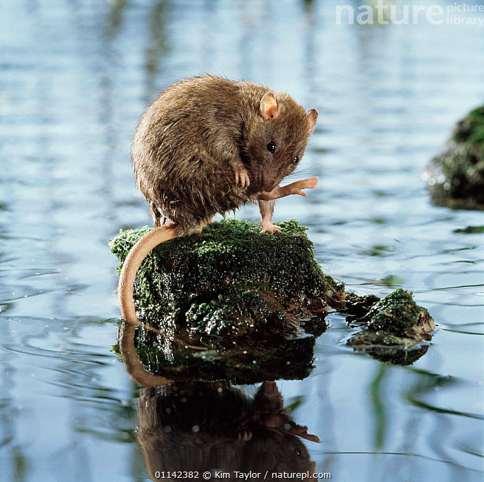 Brown rat (Rattus norvegicus) grooming on rock surrounded by water. Captive, UK  ,  EUROPE,GROOMING,MAMMALS,RATS,RIVERS,RODENTS,UK,VERTEBRATES,United Kingdom,British,Muridae, United Kingdom, United Kingdom, United Kingdom,Catalogue1  ,  Kim Taylor